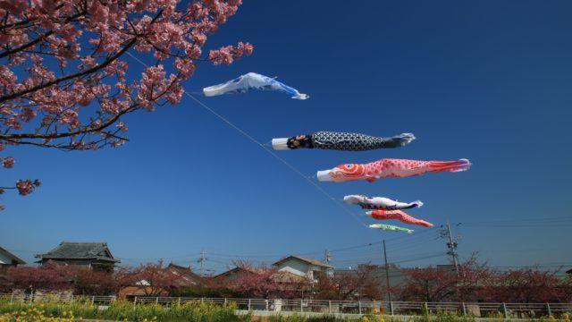 こいのぼりと桜と菜の花